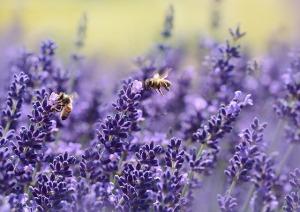 """<img src=""""lavender.jpg"""" alt=""""yoga eye pillow eye mask lavender pillow"""""""