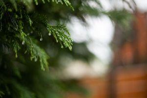 Rain on evergreen
